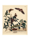 Privet Hawkmoth and Small Tortoiseshell Butterfly Giclee Print by Moses Harris