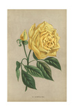 Marechal Niel Rose, Yellow Variety of the Noisette Rose Giclee Print by Francois Grobon