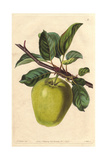 Sugar-Loaf Pippin Apple, Malus Domestica Giclee Print by Augusta Withers