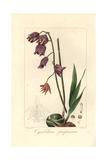 Purple Cymbidium Orchid, Cymbidium Purpureum Giclee Print by Pancrace Bessa