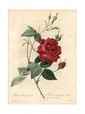 Cruenta Rose, Rosa Chinensis Variety Reproduction procédé giclée par Pierre-Joseph Redouté