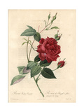 Cruenta Rose, Rosa Chinensis Variety Giclee Print by Pierre-Joseph Redouté