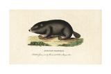 Cape Dune Mole Rat, Bathyergus Suillus Giclee Print