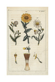 Common Groundsel, Corn Marigold and Perennial Sow-Thistle Giclee Print