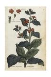 Evergreen Alkanet, Anchusa Sempervirens Giclee Print