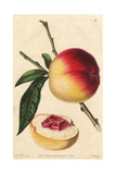 Catharine Peach, Prunus Persica Giclee Print by Augusta Withers