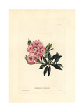 Hairy Alpenrose, Rhododendron Hirsutum Giclee Print by W.I. Cooke