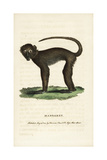 Sooty Mangabey, Cercocebus Atys Giclee Print by George Shaw