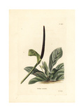 Bird's Nest Anthurium, Anthurium Hookeri Giclee Print by George Cooke