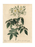 Semi-Double Musk Rose, Rosa Moschata Var Plena Giclee Print by Pierre-Joseph Redouté