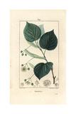 Lime Tree or Linden Tree, Tilia Europea Giclée-Druck von Pierre Turpin