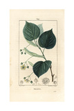 Lime Tree or Linden Tree, Tilia Europea Giclee Print by Pierre Turpin