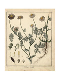 Stinking Chamomile, Anthemis Cotula Giclee Print by F. Guimpel