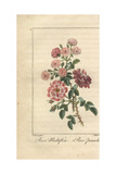 Multiflora Rose, Rosa Multiflora, and Rose Panachee Giclee Print by Pancrace Bessa