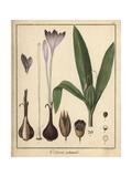 Meadow Saffron, Colchicum Autumnale Giclée-Druck von F. Guimpel