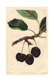 Black Tartarian Cherry, Prunus Avium Giclee Print by Augusta Withers