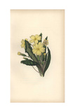 Primrose, Primula Vulgaris Giclee Print by William Clark