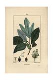 White Sassafras Tree, Sassafras Albidum Giclee Print by Pierre Turpin