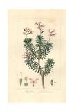 Bushy Triggerplant, Stylidium Glandulosum Giclee Print by Pancrace Bessa