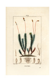 Common Haircap Moss, Polytrichum Commune Giclee Print by Pierre Turpin