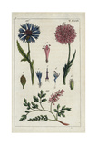 Cornflower, Field Scabious and Fumitory Giclee Print