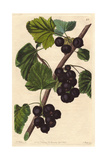 Black Naples Currant, Ribes Nigrum Giclee Print by Augusta Withers