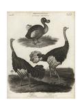 Dodo, Raphus Cucullatus, and Ostrich, Struthio Camelus Giclee Print by Sydenham Edwards