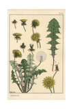 Dandelion Botanical Study Giclee Print by Eugene Grasset