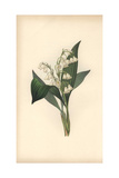 Lily of the Valley, Convallaria Majalis Giclee Print by William Clark