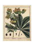 Lenten Rose or Oriental Hellebore, Helleborus Orientalis Giclee Print by F. Guimpel