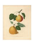 Pear Varieties, Pyrus Communis Giclee Print by George Brookshaw