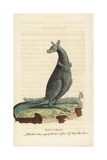 Eastern Grey Kangaroo, Macropus Giganteus Giclee Print by Thomas Pennant