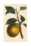 Lemon Pippin Apple, Malus Domestica Giclee Print by Augusta Withers