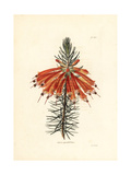 Great Flowered Heath, Erica Grandiflora Giclee Print by George Cooke