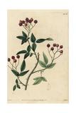 Rosa Microcarpa, Rosa Cymosa Var Cymosa, with Rosehips Giclee Print by John Lindley