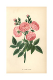 Laure Davoust Rose, Hybrid of the Rosa Multiflora Giclee Print by Francois Grobon