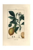 Citron, Citrus Medica, with Flower, Branch, Fruit and Section Giclee Print by Pierre Turpin