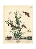Elephant Hawk Moth and White China Mark Moth Giclee Print by Moses Harris