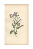 Forget-Me-Not, Myosotis Palustris Giclee Print by William Clark