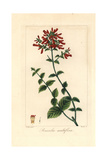 Many-Flowered Russelia, Russelia Multiflora, Native to Mexico Giclee Print by Pancrace Bessa