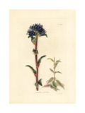 Bristly Bellflower, Campanula Cervicaria Giclee Print by George Cooke
