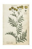 Common Tansy, Tanacetum Vulgare Giclee Print