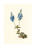 Creeping Speedwell, Veronica Teucrium Giclee Print by George Cooke