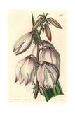 Spanish Dagger, Yucca Gloriosa Var Gloriosa Giclee Print by Sarah Drake