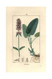 Betony or Bishopwort, Stachys Officinalis Giclee Print by Pierre Turpin
