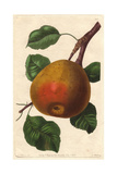 Gansel's Bergamot Pear, Pyrus Communis Giclee Print by Augusta Withers