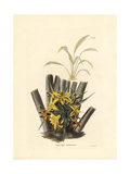 Palm Grass, Molineria Latifolia Var Latifolia Giclee Print by George Cooke