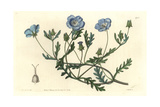 Shewy Nemophila or Baby Blue Eyes, Nemophila Insignis Giclee Print by Sarah Drake