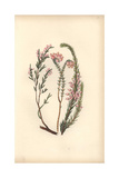 Heath or Heather Varieties, Erica Species Giclee Print by William Clark
