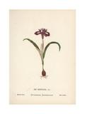 Dwarf Iris, Iris Reticulata Giclee Print by Hannah Zeller